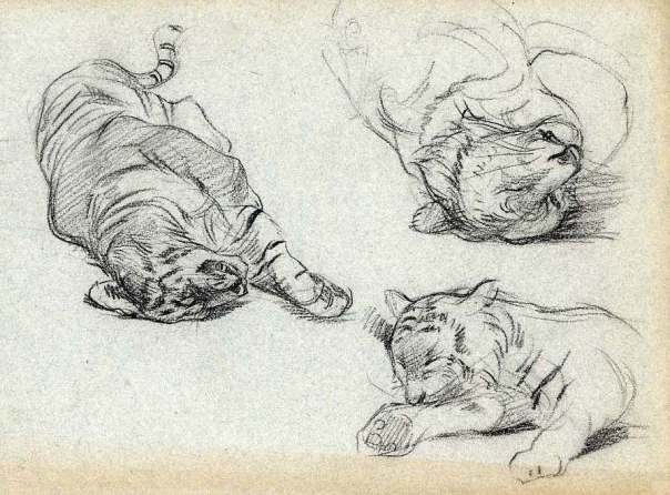 adolphe-thomasse-1850-1930-peintre-animalier-ami-de-erg-210-x-315-craie-noire-etude-de-tigre-1