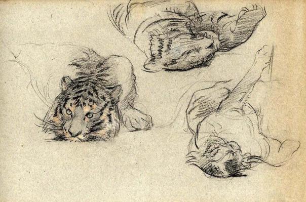 adolphe-thomasse-1850-1930-peintre-animalier-ami-de-erg-210-x-315-craies-noire-et-sanguine-etude-de-tigre-3